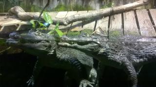 Crocos